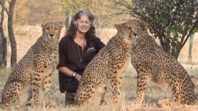 Photo of La Dott.ssa Laurie Marker fa un appello allo stop del traffico illecito di ghepardi mentre si occupa dei cuccioli confiscati in Somaliland