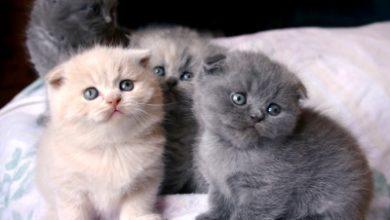 Photo of Vietata la registrazione di razze di gatti sottoposte a modifiche anatomiche